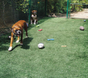 Boxer dogs on their artificial turf lawn